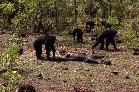 [VİDEO] Şempanzeler eski diktatörlerini öldürüp kanını içti!